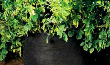 Grow Potatoes in a Tiny Spaces