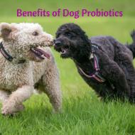 Benefits of Dog Probiotics